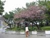 oobori-sakura